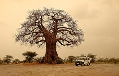 Baobab gigante horadado por elefantes, P.N. Tarangire -   Giant Baobab broken by elephants, N.P. Tarangire (August 2005)    www.vicentemendez.com