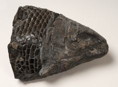 Fossil fish head called Lepidotus semiserratus from the Jurassic Period.  From the collections of Wolverhampton arts and Museums service.