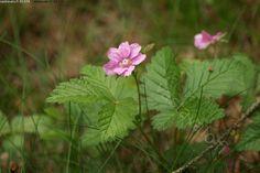 Rubus arcticus -mesimarja