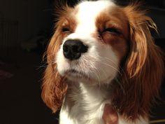 Cavalier, basking in the sun
