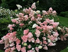 hydrangea paniculata early sensation jpg. Black Bedroom Furniture Sets. Home Design Ideas