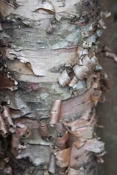 Bouleau / River Birch bark, great tree for finches they love the spring seeds. Kind of a messing tree(seeds, twigs). Patterns In Nature, Textures Patterns, Wood Patterns, Natural Forms, Natural Texture, Texture Art, Earth Texture, Texture Drawing, Wabi Sabi