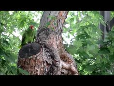 California Flocks: Terrific Video Overview of All the Wild Parrots Of California: