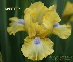 Iris SPIRITED | Stout Gardens at Dancingtree