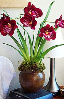 Miltonia Orchids Red | ... orchid essentials cut orchids potted orchids view all potted miltonia