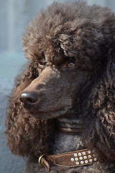 #Standard #Poodle #chocolate