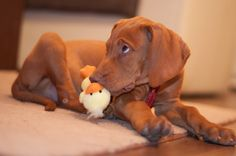 Sony, my Vizsla puppy killing time with a duck:)