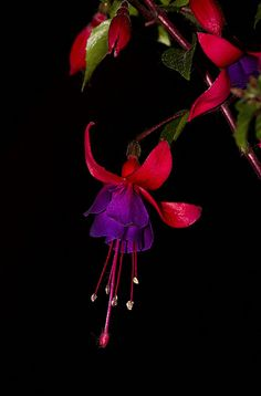 Fuchsia one of my favs
