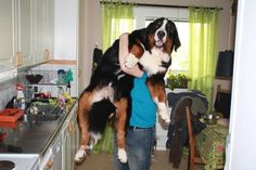 Um, you cannot bathe a berner in the sink!