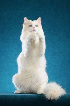 Ragdoll cat – photo copyright Helmi Flick - #ragdollcat - See more stunning picture of Ragdoll Cat Breeds at Catsincare.com!