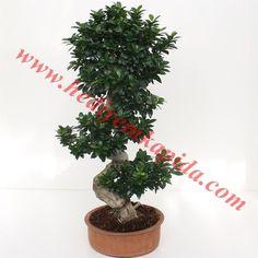 Ficus Bonsai ( Yaşlı Bodur Ağaç) Balıkesir Çiçek Çeşitleri Hızlı Teslimat