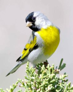 Birds can be wonderful, loyal pets and this list contains information on the best pet bird species ranked from best to worst. The best types of birds for pets… Exotic Birds, Colorful Birds, Pretty Birds, Beautiful Birds, Best Pet Birds, Animals And Pets, Cute Animals, Canary Birds, Goldfinch