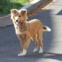#sheltie#šeltie#sheltiepower#doglover#dogstagram#puppy#dogs#instadog#instapuppy#kráska#beautydog#cutedog