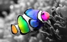 Image result for different coloured clown fish