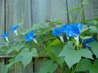 How to grow and care for morning glory vines #gardenvinesmorningglories #gardenvinesbeautiful