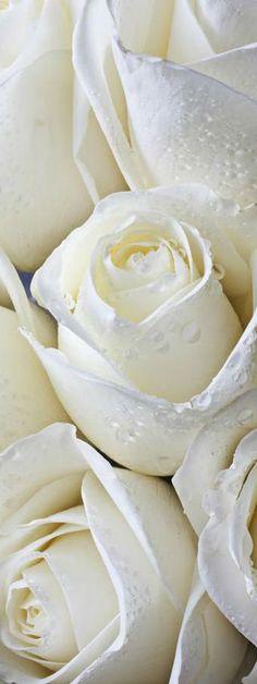White Roses from: Ana Rosa Love Rose, My Flower, Pretty Flowers, White Flowers, Dandelion Flower, Colorful Roses, Rosen Beet, Shades Of White, Pure White