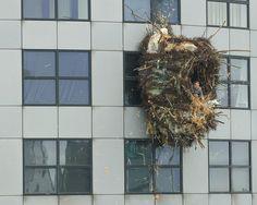 """El artista belga Benjamin Verdonck creó una instalación original: un nido en la Rotterdam Weena Tower, en Holanda, y se metió adentro por un rato. La acción fue llamada """"The Great Swallow"""" (La grandiosa golondrina) y tiene su propio sitio web."""