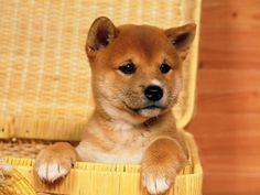 Shiba shiba! puppies