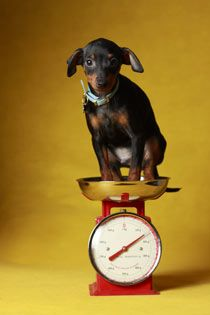 Why Your Dog's Weight Really Matters - Dealing with Overweight Dogs | petMD