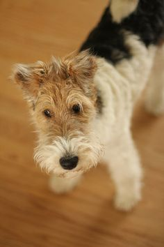 The kids really want a wired haired fox terrier  like Grandma and Grandpa have!!!!!!  Lucy | Flickr - Photo Sharing!
