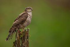 Sparrowhawk by Nick Holland
