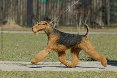 Airedale Terrier taking a brisk walk, full of terrier attitude Fox Terriers, Airedale Terrier, Welsh Terrier, West Highland Terrier, All Dogs, Best Dogs, Dogs And Puppies, Large Dog Breeds, Beautiful Dogs