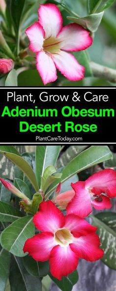 The Desert Rose, Adenium Obesum, odd looking plant, beautiful pink trumpet blooms, loves hot climates, striking as potted houseplant or bonsai. [LEARN MORE]