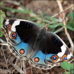Junonia orithya.  In India its English name is the Blue Pansy.  In southern Africa it is known as the Eyed Pansy.   In Australia this butterfly is known as the Blue Argus.