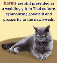 Fact about korat cat