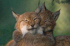 Lynx. Lūšis