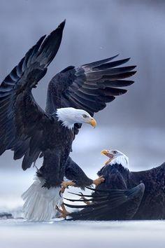 Eagle Fight by Matthew Studebaker via 500px.