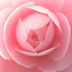 ~~ Pink Camellia ~~ one of nature's most wonderful flowers