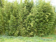"EVBJUAN-Guadua angustifolia ""Tacuaruzú"" O CAÑA TACUARA-- paraje El Chaja-  Brandsen Herbs, Grey Hair, Herb, Spice"