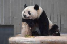 今日のパンダ(2511日目) | 毎日パンダ Red Pandas, Panda Love, Panda Bears, Husky, Foundation, Animals, Animal Pictures, Koalas, Pet Pictures