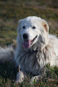 Abruzzese Mastiff, Abruzzese shepherd, Maremma Sheepdog