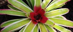 Image result for full sun bromeliads