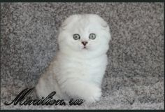 love love love love...scottish fold Cat Scottish Fold, Cute Cats, Charlotte, Fish, Pets, Animals, Pretty Cats, Animales, Animaux