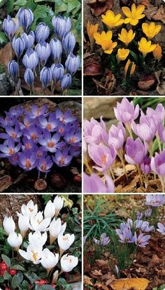 Fall blooming crocus collection