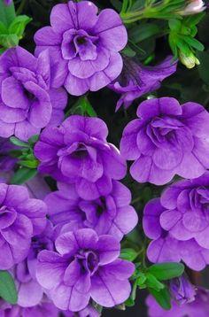 100 Calibrachoa Minifamous Double Amethyst Live Plants Plugs Garden Patio S6 #Calibrachoa