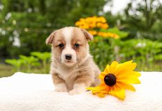🌻💥Ready to meet a #Darling pup🐶?! Ivory is a friendly #WelshCorgi puppy that will make an outstanding new addition to your family. Ivory is playful, #Happy, and full of life! #Charming #PinterestPuppies #PuppiesOfPinterest #Puppy #Puppies #Pups #Pup #Funloving #Sweet #PuppyLove #Cute #Cuddly #Adorable #ForTheLoveOfADog #MansBestFriend #Animals #Dog #Pet #Pets #ChildrenFriendly #PuppyandChildren #ChildandPuppy #LancasterPuppies www.LancasterPuppies.com Pembroke Welsh Corgi Puppies, Lancaster Puppies, Cute Corgi, Animals Dog, Puppies For Sale, Mans Best Friend, Puppy Love, Ivory, Meet