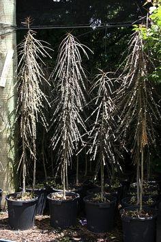 Pseudopanax ferox, Chatham Is lancewood Big Tree, Cool Plants, Small Gardens, Native Plants, Shrubs, New Zealand, Planting Flowers, Nativity, Entrance