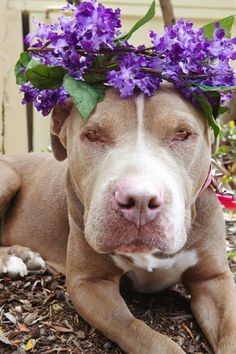 Meet Jade-ADOPT Me!, a Petfinder adoptable Pit Bull Terrier Dog | Redondo Beach, CA | Hi I am Jade!  I lived on the streets for over a YEAR! No one was able to catch me, nor did anyone...