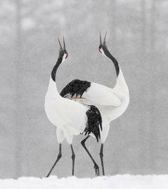 "Snow Dance,""red crowned cranes"" #Hokkaido #Japan"