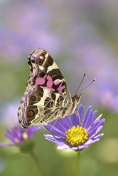 American Painted Lady Butterfly on a Lavender Aster | Gail Melville Shumway Photography