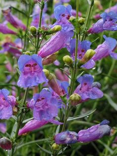 Margarita BOP (Beardtongue) 16 Perennials That Attract Hummingbirds to Your Garden! Margarita BOP Perennials That Attract Hummingbirds to Your Garden! Hummingbird Plants, Flower Landscape, Flower Garden Plans, Flowers, How To Attract Hummingbirds, Purple Flowers Garden, Perennials, Plants, Planting Flowers