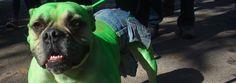 Halloween Dog Costume Suggestion. Hulk! Haha! Perfect!!!
