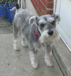 Meet Bella a Petfinder adoptable Schnauzer Dog | Schnauzer Rescue Of The Mid-Atlantic, Laurel, MD | Bella's owner gave her up because she has some allergies. Bella is 3 years old, spayed, current on...