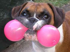 This dog squeezing a balloon as hard as possible without making it pop.