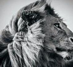 VIDEO DU JOUR : La photographie animalière en noir et blanc selon Laurent Baheux