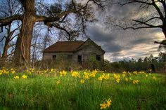 Daffodils decorate the yard of an abandoned house in Georgia, a beautiful contrast against the dark sky.